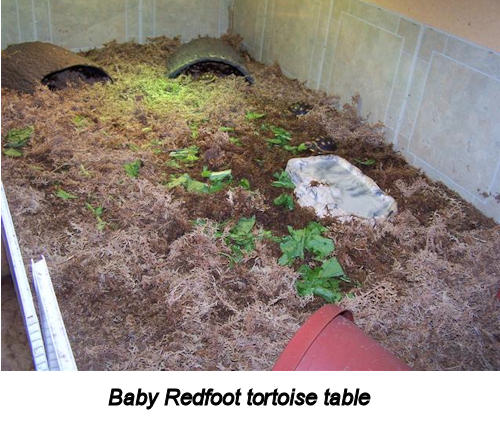 Baby Redfoot tortoise table