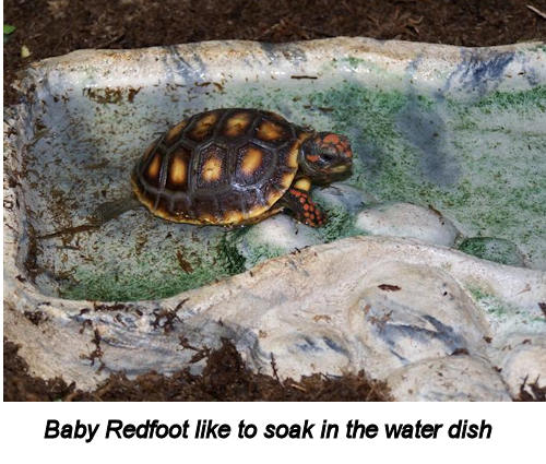 Baby Redfoot like to soak in the water dish
